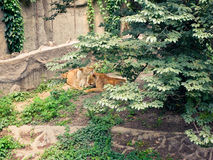czyścić lwicę lwicy inni dwa Zdjęcie Royalty Free