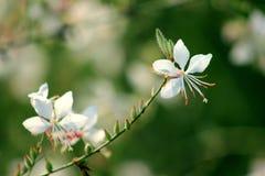 Czyści, świezi i piękni biali kwiaty Obrazy Royalty Free