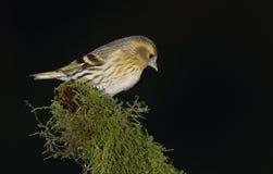Czyżyka ptak Zdjęcia Stock
