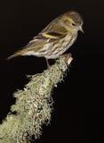 Czyżyka ptak Obraz Royalty Free