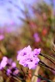 Czysta, świeża i piękna błękitna trawa Fotografia Stock