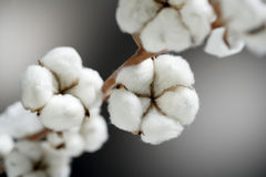 Czysta bawełna Fotografia Stock