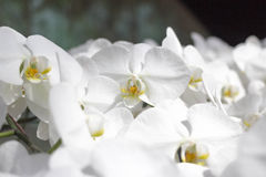 Czysta biała orchidea kwitnie w ogródzie Obrazy Stock