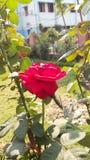 czysta, czerwona róża obraz stock