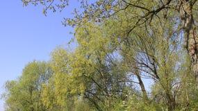 Czysta natura Z Młodymi liśćmi Fotografia Royalty Free