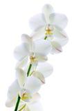czysta orchidea Obrazy Stock