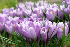 czyste purpurowy Fotografia Royalty Free
