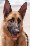 Czystego Trakenu Żeński Niemiecki Bacy Pies Obraz Royalty Free