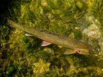 czysty creek pstrąga Fotografia Stock