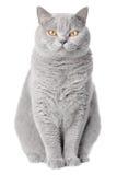 czysty kota spłodzony portret zdjęcie royalty free