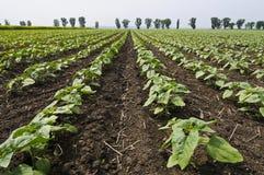 czysty pola zieleni słonecznik taktujący Zdjęcie Royalty Free