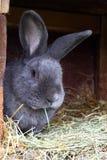 Czysty spłodzony męski królik, Morawski błękit z tatuażem w ucho, obraz stock