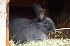 Czysty spłodzony męski królik, Morawski błękit z tatuażem w ucho, zdjęcia royalty free