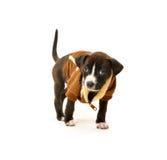 Czysty spłodzony pit bull szczeniak jest ubranym kurtkę zdjęcia royalty free
