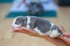 Czysty trakenu beagle szczeniak jest sypialny i przyglądający Zdjęcia Royalty Free