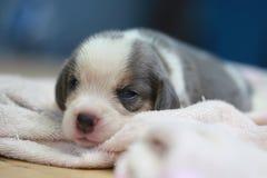 Czysty trakenu beagle szczeniak jest sypialny i przyglądający Zdjęcie Stock