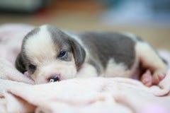 Czysty trakenu beagle szczeniak jest sypialny i przyglądający Zdjęcie Royalty Free