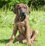 Czysty trakenu Rhodesian plecy szczeniaka pies Zdjęcie Royalty Free