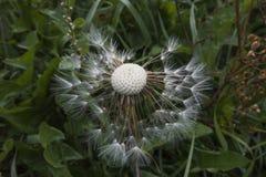 Czysty widmowy iskrzasty dandelion wypełnia świat z pięknem zdjęcia stock
