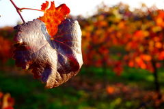 Czytający liść w winnicach Zdjęcia Stock