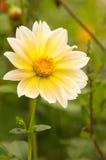 Dália amarela Imagem de Stock