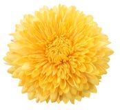 Dália amarela Imagem de Stock Royalty Free