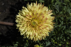 Dália amarela Fotografia de Stock Royalty Free