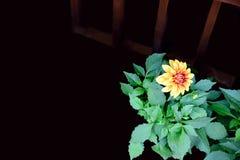 Dália amarela fotografia de stock
