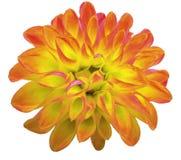 Dália amarela da flor isolada no fundo branco closeup Imagem de Stock Royalty Free