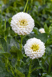 Dália branca na flor em um jardim Foto de Stock Royalty Free