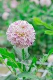 Dália branca vermelha na flor em um jardim Foto de Stock