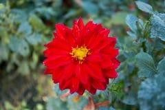 Dália colorida da flor Imagens de Stock