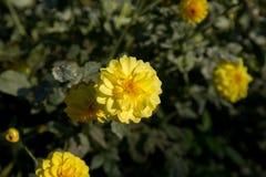 Dália colorida da flor Fotografia de Stock