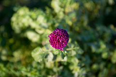 Dália colorida da flor Imagem de Stock Royalty Free