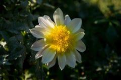 Dália colorida da flor Fotografia de Stock Royalty Free