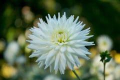 Dália colorida da flor Fotos de Stock