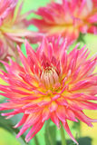 Dália cor-de-rosa Fotografia de Stock Royalty Free