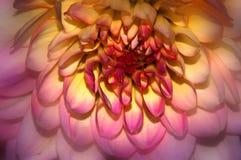 Dália cor-de-rosa Foto de Stock Royalty Free