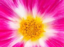 Dália cor-de-rosa Imagens de Stock