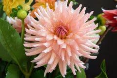 Dália cor-de-rosa Imagem de Stock