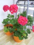Dália cor-de-rosa Foto de Stock
