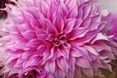 Dália cor-de-rosa brilhante macro. Fotos de Stock