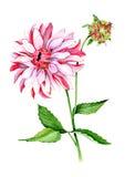 Dália cor-de-rosa com botão e folhas Imagem de Stock Royalty Free