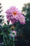 Dália cor-de-rosa contra o céu morno Fotografia de Stock Royalty Free