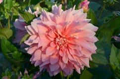 Dália cor-de-rosa de Dinnerplate Foto de Stock