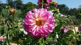 Dália cor-de-rosa e branca Imagens de Stock Royalty Free