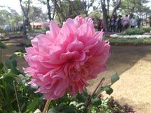 Dália cor-de-rosa grande Fotos de Stock Royalty Free