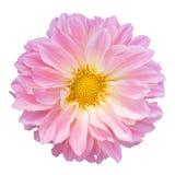 Dália cor-de-rosa isolada no fundo branco Imagem de Stock