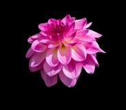 Dália cor-de-rosa isolada no fundo preto Imagens de Stock