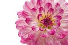 Dália cor-de-rosa isolada sobre o branco fotografia de stock royalty free